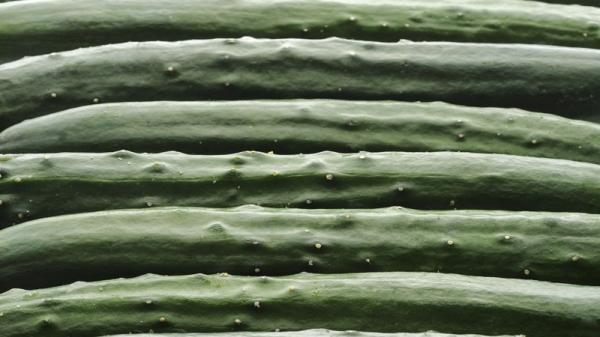 被玩坏?这家日本农场竟然用人工智能玩起了捡黄瓜