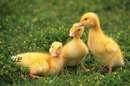 天猫再回应京东举报:鸡举报鸭 说鸭垄断了湖面