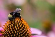 一个神奇的物联网平台 科学家让蜜蜂变身无人机