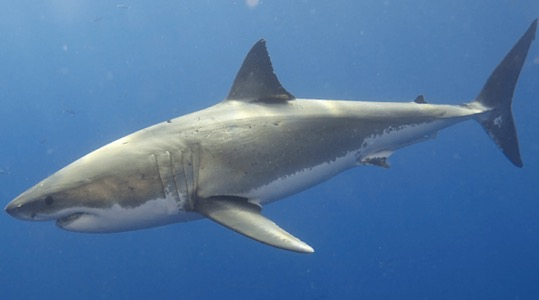 Salesforce爱因斯坦人工智能系统的新用途:跟踪鲨鱼
