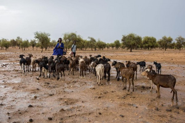 """西非牧民正在用AI应对""""饥饿危机"""""""